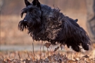 scottish-terrier_herbst_6463-1