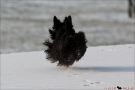 Scottish Terrier Winter 2012