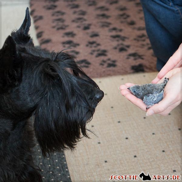 Scottish Terrier Hündin Dickie wirft einen kurzen Blick auf den kleinen Mauersegler-Findling ;-)