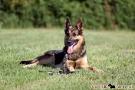 schaeferhund-003-8733