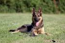 schaeferhund-004-8735