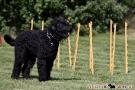 schwarzer-terrier-001-0015