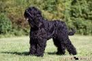schwarzer-terrier-010-8922