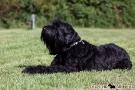 schwarzer-terrier-014-8980