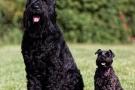 Schwarzer Terrier 201008