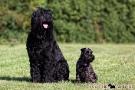schwarzer-terrier-016-8992