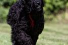 schwarzer-terrier-019-9525