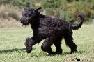 schwarzer-terrier-021-9759