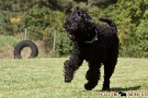 schwarzer-terrier-022-9780