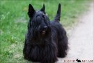 scottish-terrier_dickie_29883