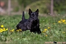 scottish-terrier_dickie_39623-1