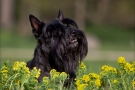 scottish-terrier_dickie_40777