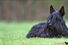 scottish-terrier_dickie_60309-1