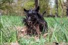 Scottish Terrier Frühling 2013