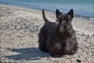 Scottish-Terrier_Ostsee-2011_0273