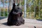 Scottish-Terrier_Ostsee-2011_0531