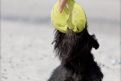 Scottish-Terrier_Ostsee-2011_0805