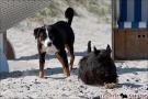 Scottish-Terrier_Ostsee-2011_0845-1