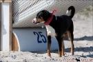 Scottish-Terrier_Ostsee-2011_0849