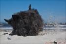 Scottish-Terrier_Ostsee-2011_1487