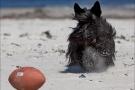 Scottish-Terrier_Ostsee-2011_1547-1
