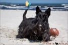 Scottish Terrier Ostsee Mai 2011