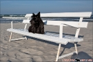 Scottish-Terrier_Ostsee-2011_2107-1