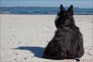 Scottish-Terrier_Ostsee-2011_2303
