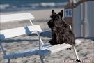 Scottish-Terrier_Ostsee-2011_2416-1