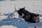 Scottish-Terrier_Ostsee-2011_2768