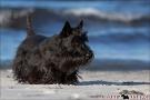 Scottish-Terrier_Ostsee-2011_2840