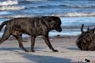 Scottish-Terrier_Ostsee-2011_2875-1