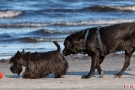 Scottish-Terrier_Ostsee-2011_2882-1