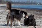 Scottish-Terrier_Ostsee-2011_2920-1