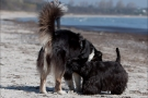 Scottish-Terrier_Ostsee-2011_2921