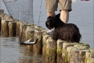 Scottish-Terrier_Ostsee-2011_3972