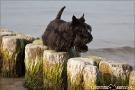 Scottish-Terrier_Ostsee-2011_3980