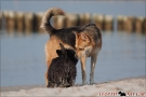 Scottish-Terrier_Ostsee-2011_4242