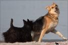 Scottish-Terrier_Ostsee-2011_4264-1