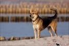 Scottish-Terrier_Ostsee-2011_4287