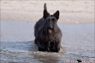 Scottish-Terrier_Ostsee-2011_4293
