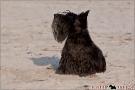 Scottish Terrier Ostsee Mai 2011