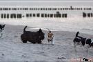 Scottish-Terrier_Ostsee-2011_4821-1