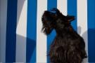 Scottish-Terrier_Ostsee-2011_5021