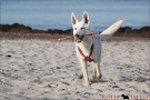 Scottish-Terrier_Ostsee-2011_5042