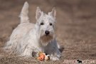Scottish Terrier 201003