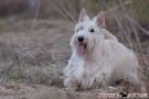 Scottish Terrier 201003