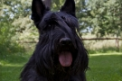 scottish-terrier_sommer-2012_4826-1