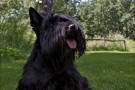 scottish-terrier_sommer-2012_4842-1