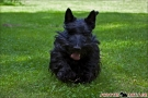 scottish-terrier_sommer-2012_4951-1